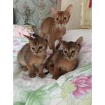 Абиссинские котята из питомника Nefertee