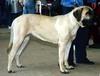 Английский мастиф - одна из самых крупных собак.